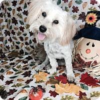 Shih Tzu/Maltese Mix Dog for adoption in Orange County, California - Sassy