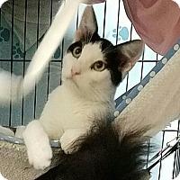 Domestic Shorthair Cat for adoption in Fallbrook, California - Rosie