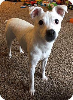 Jack Russell Terrier Dog for adoption in Clatskanie, Oregon - Bella