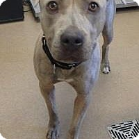 American Pit Bull Terrier Mix Dog for adoption in Apple Valley, California - Byrd #161333