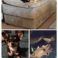 Miniature Pinscher Mix Dog for adoption in Tijeras, New Mexico - Maggie