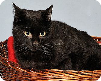 Korat Cat for adoption in Gatineau, Quebec - Robertson