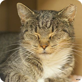 Domestic Shorthair Cat for adoption in East Hartford, Connecticut - Tricia