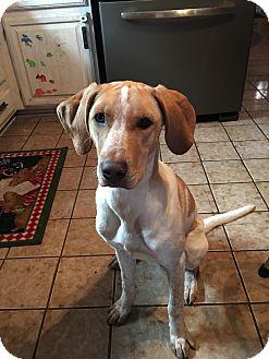 Hound (Unknown Type)/Australian Shepherd Mix Puppy for adoption in Oak Lawn, Illinois - Hazelnut