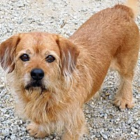 Norfolk Terrier Dog for adoption in Spartanburg, South Carolina - Wally