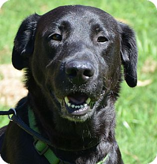 Labrador Retriever Mix Dog for adoption in Brattleboro, Vermont - Ashley *look at her smile