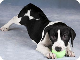 Beagle/Springer Spaniel Mix Puppy for adoption in Chicago, Illinois - Duke(ADOPTED!)