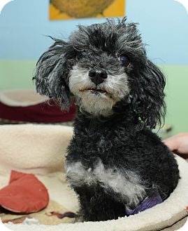 Poodle (Toy or Tea Cup) Dog for adoption in New York, New York - Francie