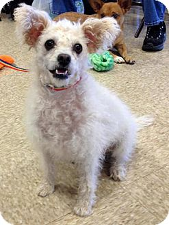 Poodle (Miniature)/Bichon Frise Mix Dog for adoption in Phoenix, Arizona - Roscoe