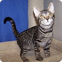 Adopt A Pet :: K-Hart5-Nelson - Colorado Springs, CO