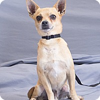 Chihuahua Dog for adoption in Crescent, Oklahoma - Luigi