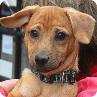 Media, PA - Dachshund/Jack Russell Terrier Mix. Meet ...
