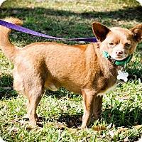 Adopt A Pet :: Poquito - Gainesville, FL