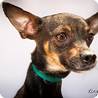 Adopt A Pet :: Lady - Surprise, AZ