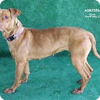 Adopt A Pet :: *EVA - Hanford, CA