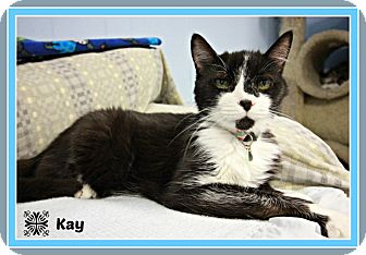 Domestic Shorthair Cat for adoption in New Richmond,, Wisconsin - Kay