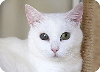 Domestic Shorthair Cat for adoption in Chicago, Illinois - Bleach