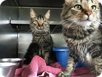 Domestic Longhair Cat for adoption in Monroe, Michigan - Hailey