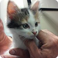 Adopt A Pet :: Clover - Franklin, NH