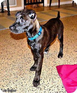 Labrador Retriever/Terrier (Unknown Type, Medium) Mix Puppy for adoption in West Palm Beach, Florida - Toy