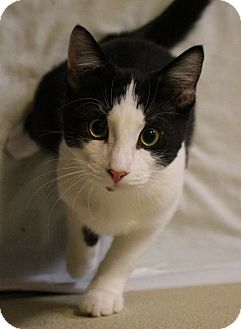 Domestic Shorthair Cat for adoption in Colorado Springs, Colorado - Yavari