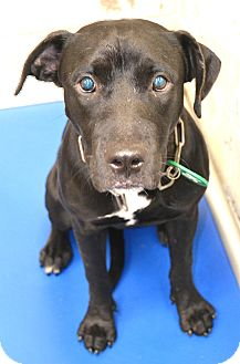 Labrador Retriever Mix Dog for adoption in Beaumont, Texas - Sara