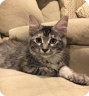 Domestic Longhair Kitten for adoption in Flower Mound, Texas - Sabrina
