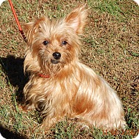 Yorkie, Yorkshire Terrier/Terrier (Unknown Type, Small) Mix Dog for adoption in Williamsport, Maryland - Goldie (10 lb) Sweetheart!