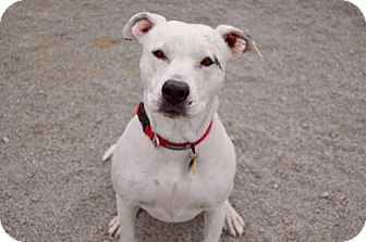 Pit Bull Terrier Mix Dog for adoption in Buena Vista, Colorado - Carlee