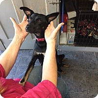 Miniature Pinscher/Shepherd (Unknown Type) Mix Dog for adoption in Lima, Pennsylvania - Cindy