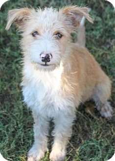 Terrier (Unknown Type, Medium) Mix Dog for adoption in Pipe Creed, Texas - Popcorn