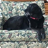 Adopt A Pet :: MADDOX - Albany, NY