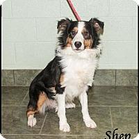 Adopt A Pet :: Shep - Ada, OK