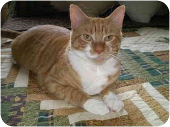 Domestic Shorthair Cat for adoption in Howell, New Jersey - Wilson