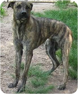 Catahoula Leopard Dog Brindle