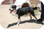 Border Collie Mix Dog for adoption in Simi Valley, California - Rufus