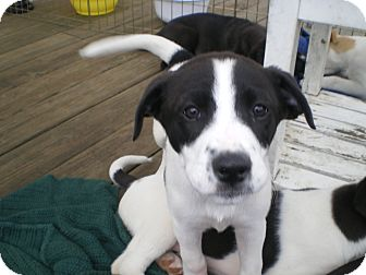 Border Collie/Labrador Retriever Mix Puppy for adoption in Apex, North Carolina - Jackie O