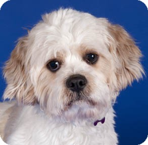 king charles spaniel shih tzu mix kevin adopted dog chicago il cavalier king charles 9195
