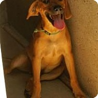 Labrador Retriever Mix Dog for adoption in Oakland, Arkansas - Flint