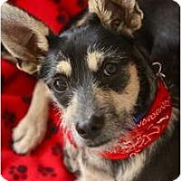 Adopt A Pet :: SCAMP !! - san diego, CA