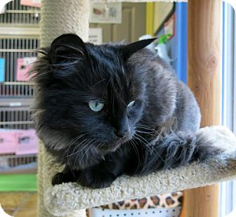 Domestic Mediumhair Cat for adoption in Northbrook, Illinois - Tula