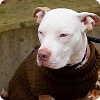 Adopt A Pet :: Queenie - Villa Park, IL