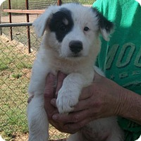 Adopt A Pet :: Puppies - Post, TX