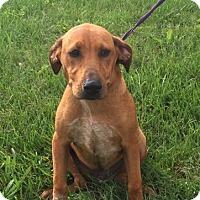 Adopt A Pet :: Thunder (POM-EC) - Windham, NH