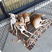Chihuahua/Pug Mix Puppy for adoption in Phoenix, Arizona - Dixie