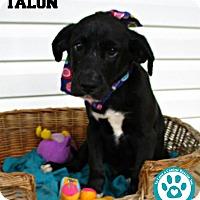 Adopt A Pet :: Talon - Kimberton, PA
