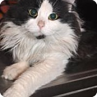 Domestic Longhair Cat for adoption in Northbrook, Illinois - Moxey