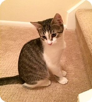 Domestic Shorthair Cat for adoption in Lambertville, New Jersey - Jerry