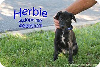 Retriever (Unknown Type)/Shepherd (Unknown Type) Mix Puppy for adoption in Kansas City, Missouri - Herbie