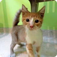 Domestic Shorthair Kitten for adoption in Janesville, Wisconsin - Gonzolo